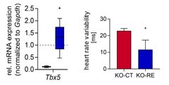 Fig.2: TBX5 in vivo re-expression rescues arrhythmia phenotype in ventricular TBX5-KO mouse model. mRNA expression analysis shows physiological re-expression. Statistical analysis shows significantly lower heart rate variability in KO-RE vs KO-CT mice. KO-RE: TBX5 re-expression in vTBX5-KO mice, KO-CT: vTBX5-KO mice control. Source GB1802864.7
