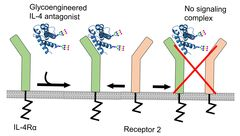 Figure: An IL4-based antagonist can be generated by designing an IL4 protein (ligand) that can still bind to IL4Rα (receptor 1) but is incapable to recruit either one of the two receptors (receptor 2). This competes with endogenous IL4 (and IL13) for binding to IL4Rα and shut down IL4 (and IL13) signaling.