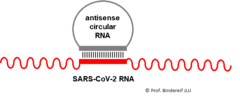 Antisense Circular RNA as Therapeutic Compound for Treatment of Covid-19