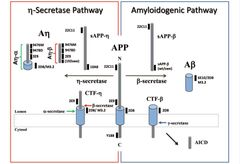 Figure: APP processing pathways