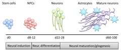 Time-course of neuronal organoid development. Source: EP17175874.1
